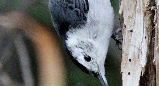 Contrasts of Sights and Sounds in Taos: White-Breasted Nuthatch
