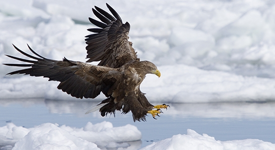 White-Tailed Eagle, Rausu, Japan